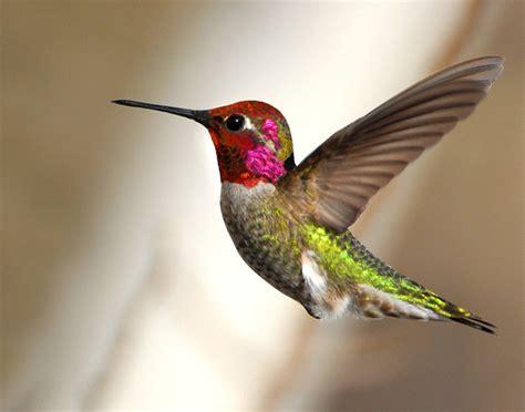 birds anna s hummingbird henry e hooper