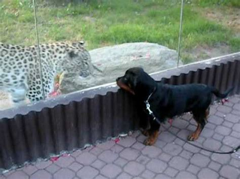 rottweiler vs wolf rottweiler vs coyote www pixshark images galleries with a bite
