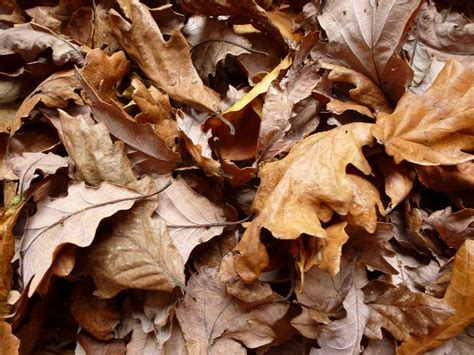 Dead Of Autumn image of background of dead brown autumn leaves freebie