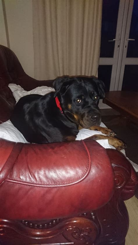 rottweiler rescue uk rottweiler for sale uk photo