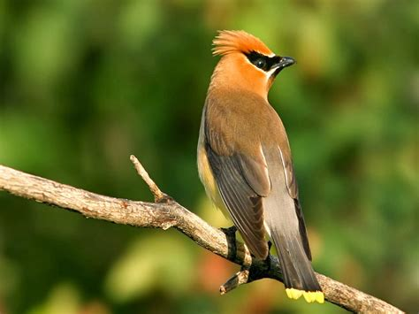 world beautiful birds cedar waxwing birds information