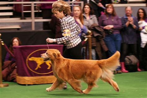 westminster golden retriever 2010 westminster show hill golden retrievers hill golden retrievers