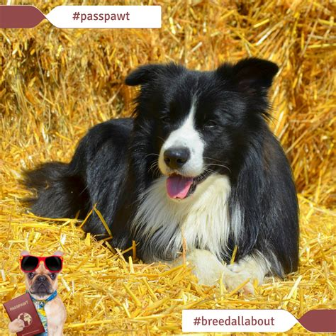 b breeds breed all about it breeds starting with b border collie