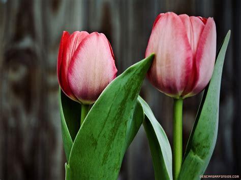 imagenes tulipanes rosas image gallery tulipanes rosas