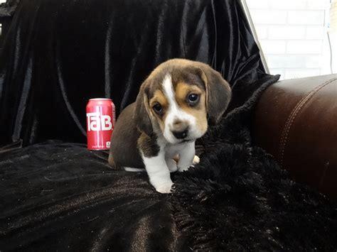 mini beagle puppies mini tiny pocket beagle puppy for sale flickr photo