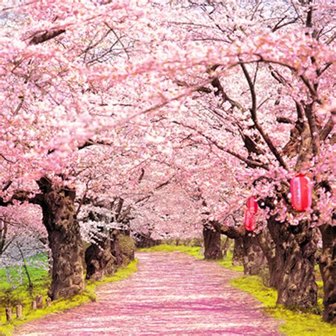 abbeville floral wallpaper pink natural blush pink flowers old trees beautiful road natural