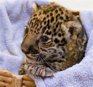 How Do Jaguars Babies Significant Birth These Two Baby Jaguars At Milwaukee