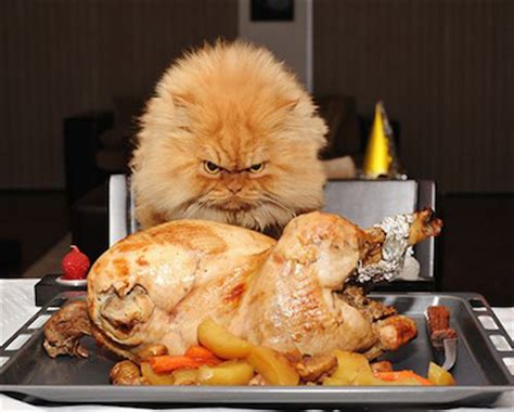 can a eat turkey how can a cat go without cancats net