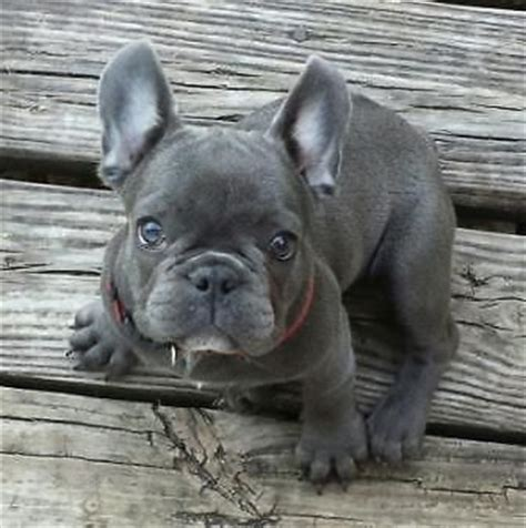 blue frenchie puppy 25 best ideas about blue bulldogs on blue bulldog puppies