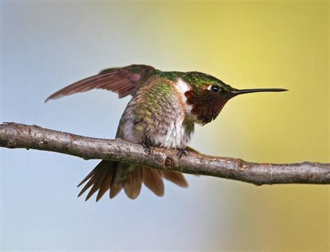 ruby throated hummingbird audubon field guide