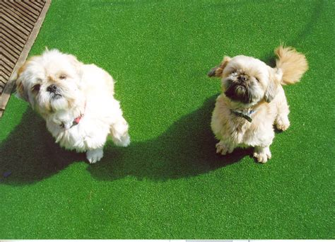 turf dogs artificial turf is a s best friend artificial turf express