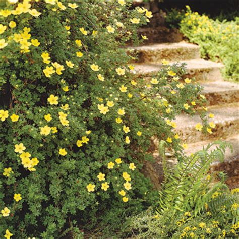 yellow flowering shrubs potentilla