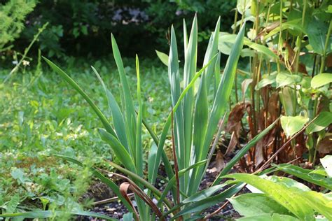 garten yucca umpflanzen f 228 dige palmlilie garten yucca yucca filamentosa pflege