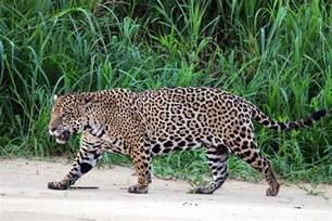 Jaguars Picture File Jaguar Panthera Onca Palustris Three Brothers