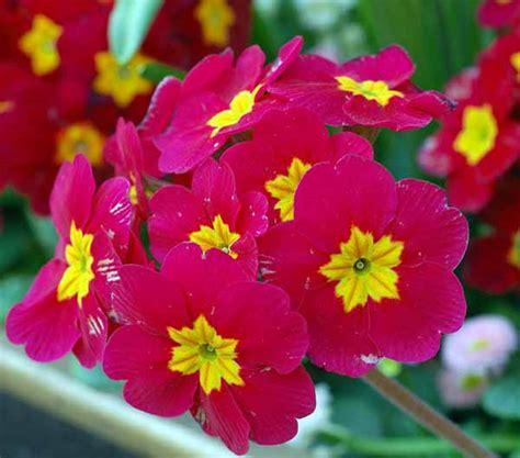 fiori primule primule guida completa alla coltivazione e cura