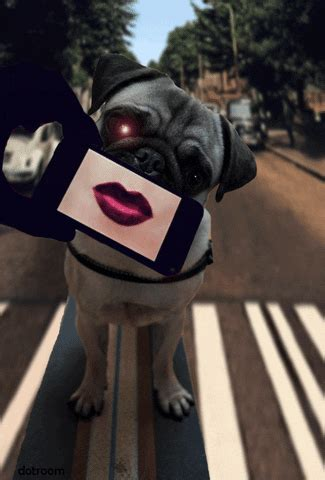 abbey road pug gif find share  giphy