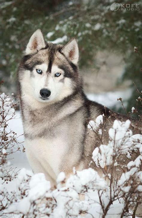 are huskies dogs 25 best ideas about siberian huskies on husky husky puppies