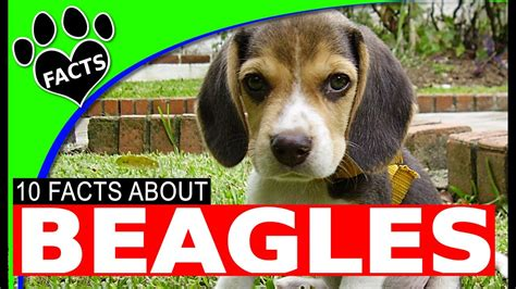 dogs 101 beagle top 10 beagle facts most popular breeds dogs 101 funnydog tv