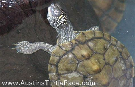 texas map turtle photo gallery