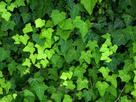 edera fiori edera ricante piante da giardino coltivare l edera