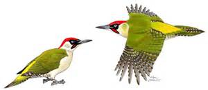 portrait le pic vert un oiseau terre 224 terre loire