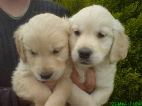 golden retriever puppies for sale uk pedigree golden retriever puppies for sale rye east sussex pets4homes
