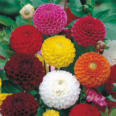 Biji Bunga Dahlia Mixed jual benih biji bunga dahlia pompon mixed cantik mr