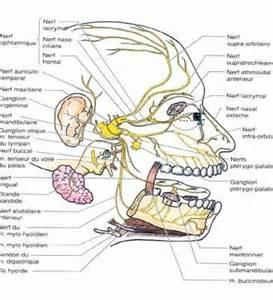 l innervation de la le nerf trijumeaux nc v