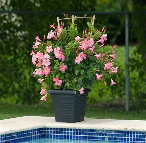 sundaville fiore dipladenia o mandevilla ricanti dipladenia pianta