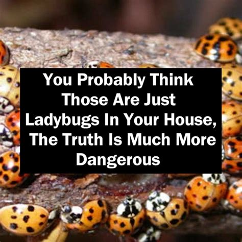 Ladybugs In The House you probably think those are just ladybugs in your house