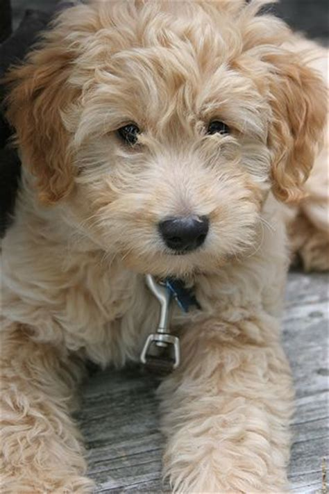 goldendoodle puppy books 10 best ideas about golden doodle mini on