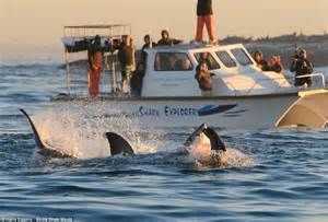 boats online south africa great white shark leaps through air to catch prey in false