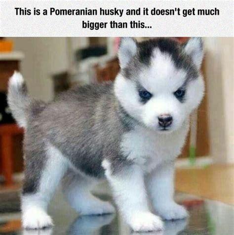siberian husky pomeranian mix puppies for sale pomeranian husky mix memes
