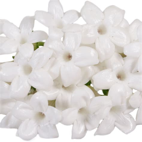 bulk flowers bulk stephanotis white flower