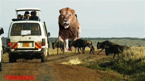 imagenes sorprendentes de animales gigantes leones cazando leones gigantes los leones mas grandes