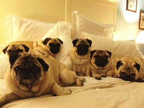 pug puppy bed bed pugs pugfanatic pugs