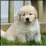 middle tennessee golden retriever golden retriever breeders of tennessee quot check here for quality golden retriever