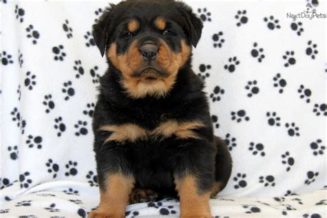 rottweiler puppies for free in pa rottweiler puppies and dogs for sale and adoption in pennsylvania breeds picture
