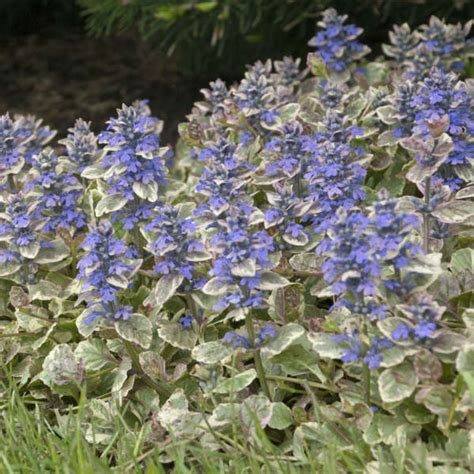 ajuga reptans burgundy glow perennial resource