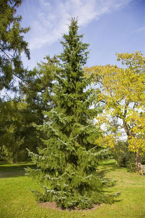 serbian spruce tree growing the serbian spruce in the home garden