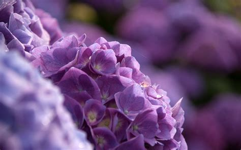 wallpaper flower hydrangea hydrangea full hd wallpaper and background image