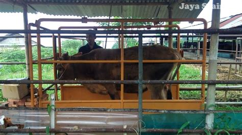 Timbangan Hewan Digital 081310045708 timbangan hewan digital timbangan sapi