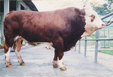 Jual Bibit Sapi Potong Unggul ciri ciri sapi silangan peranakan ongole simmental