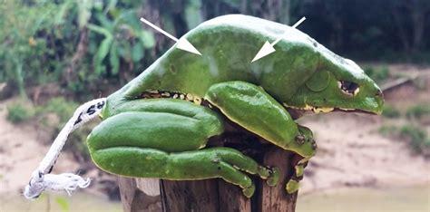 Frog Venom Detox by Fresh Kambo Poison Kambo Sweats And We Milk It