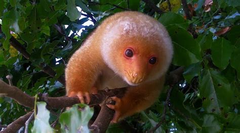 Common Spotted Cuscus/Kuskus | Project Noah