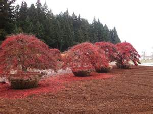 specimen japanese maples jaycee newman inc