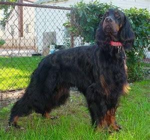 gordon setter therapy dog how to train a gordon setter