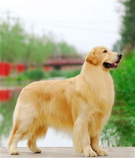 trimming a golden retriever win dogs