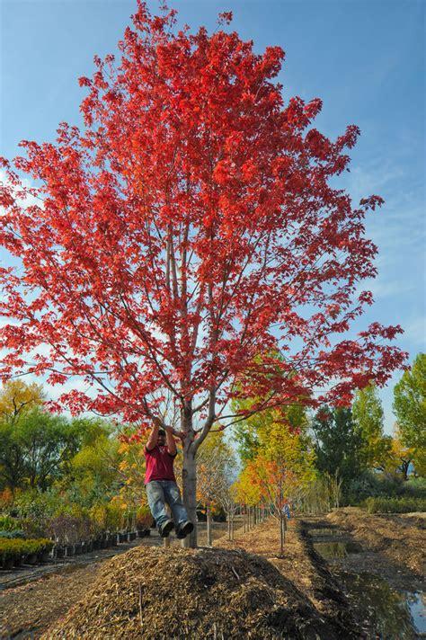 maple autumn blaze for sale in boulder colorado