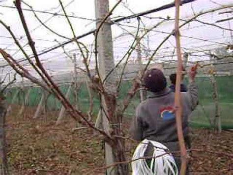 comment tailler une treille de raisin la taille de la vigne syst 232 me pergola